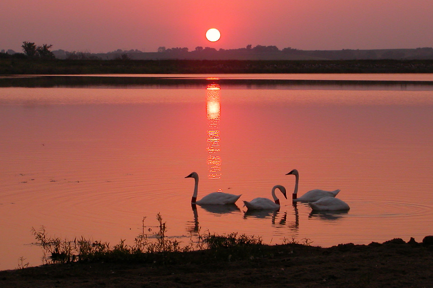 Tom's photo of swans by sunset