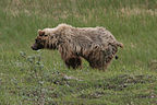Grizzly pooping