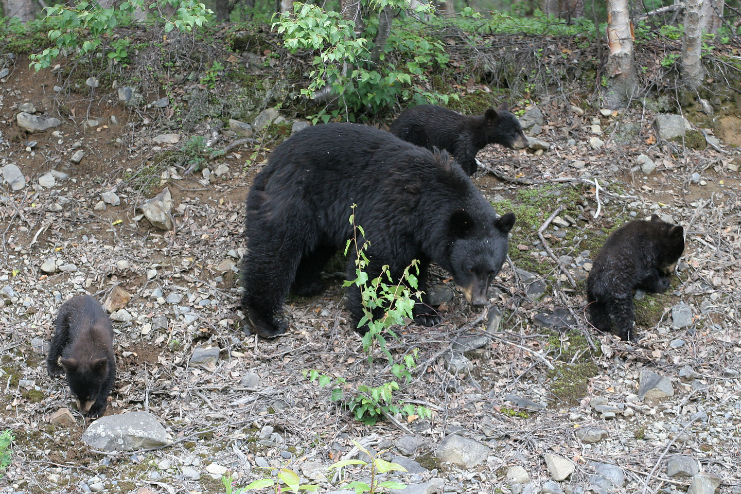 Mama Black Bear with 3 cubs