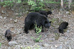 Mama Bear with 3 cubs