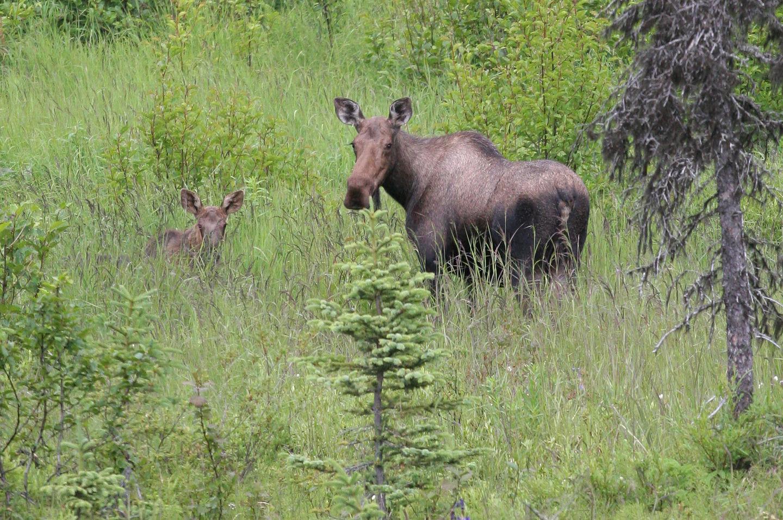 Homer Mama moose and young