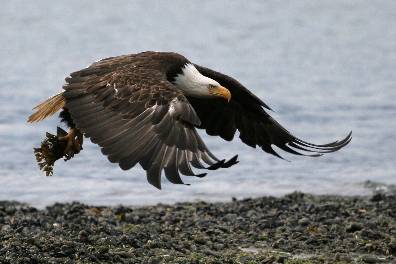 Homer Bald Eagle in flight over beach
