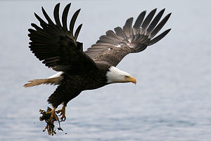 Homer Bald Eagle in flight