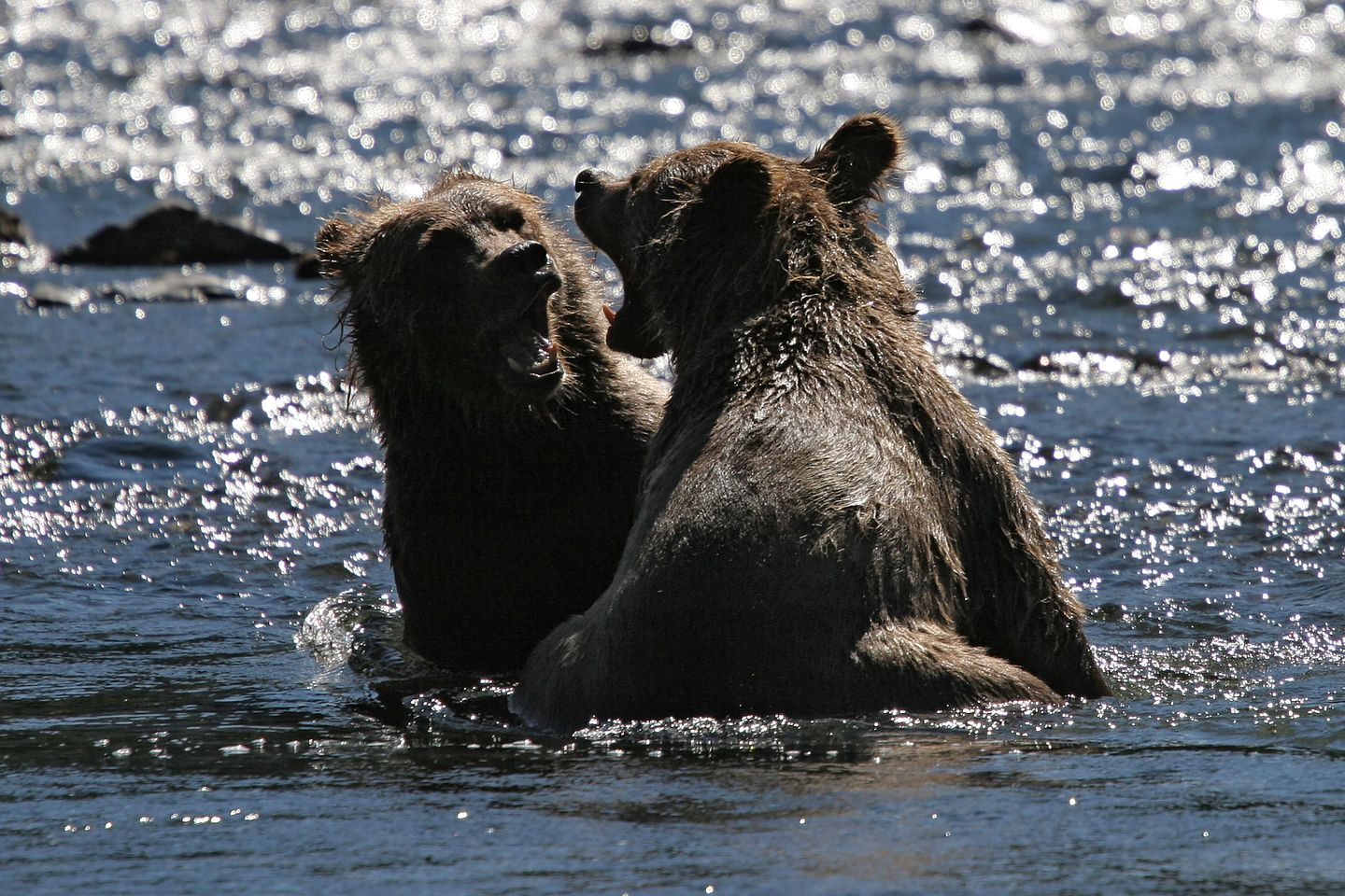 Russian River grizzly bear cubs - Gimpy and Limpy