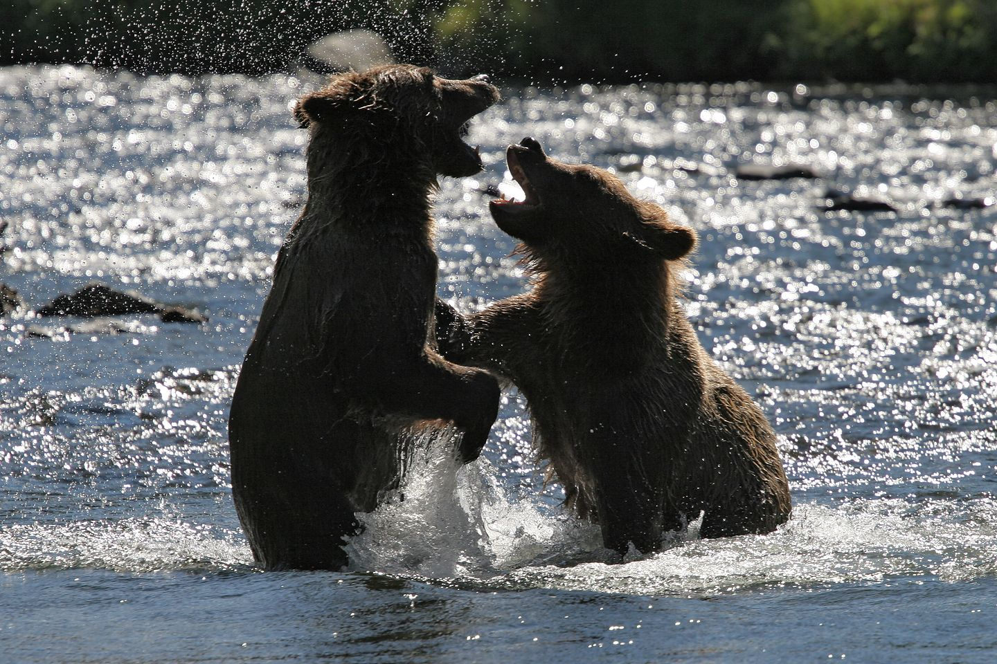 Play fighting Russian River grizzly bear cubs