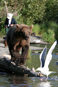 Grizzly Bear with seagull and fisherman