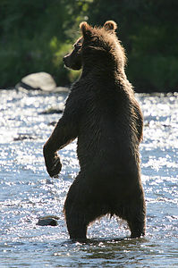 Grizzly Bear scaring off fishermen
