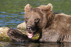 Playful Grizzly