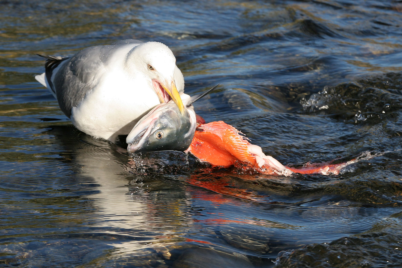 Seagull feasting