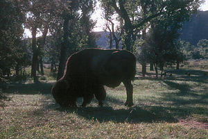 George, the lonely bison