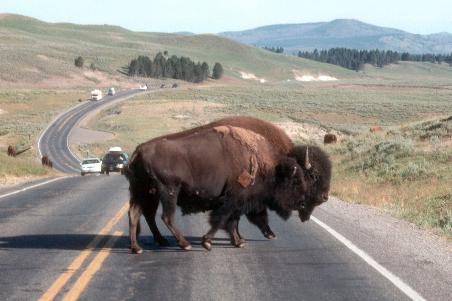 Why does the Bison cross the road?