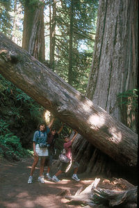 Holding up the redwood