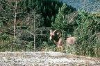 Big horn sheep near campground
