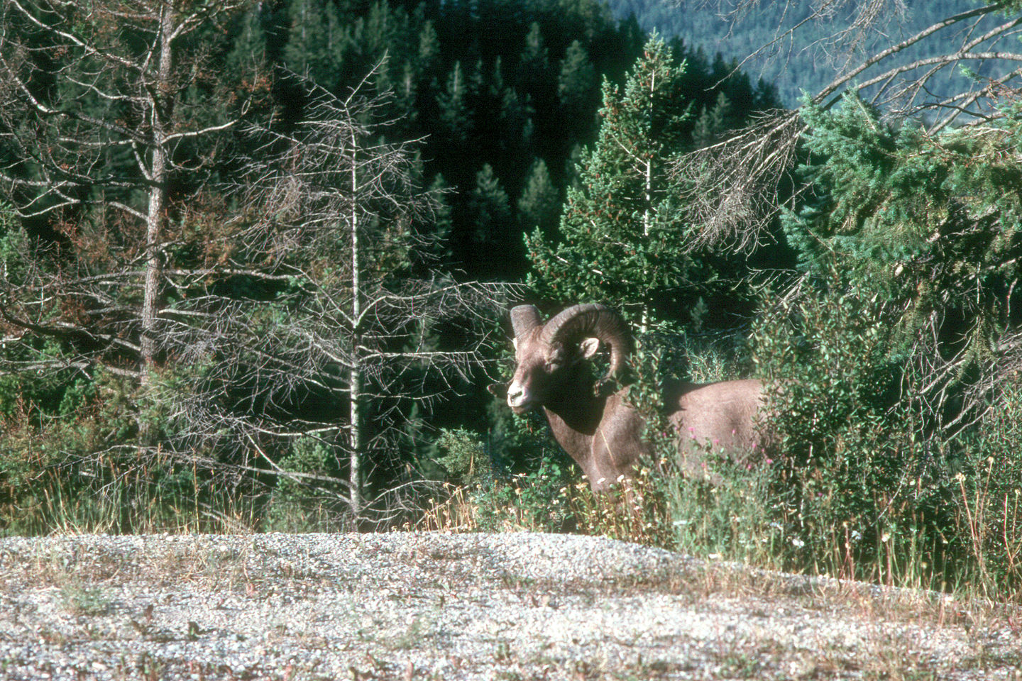 Big horn sheep near campground
