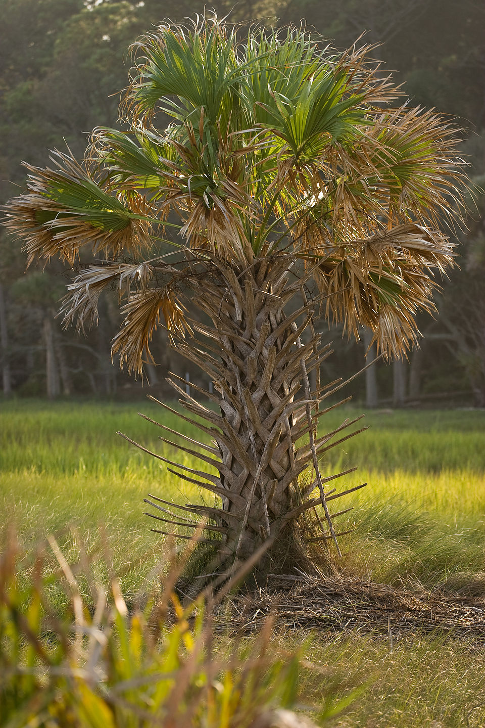 Palmetto Palm Tree