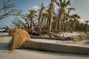 Beach erosion with fallen palmettos