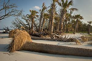 Beach erosion with fallen palmettos