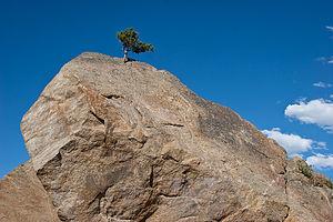 Determined Pine Tree
