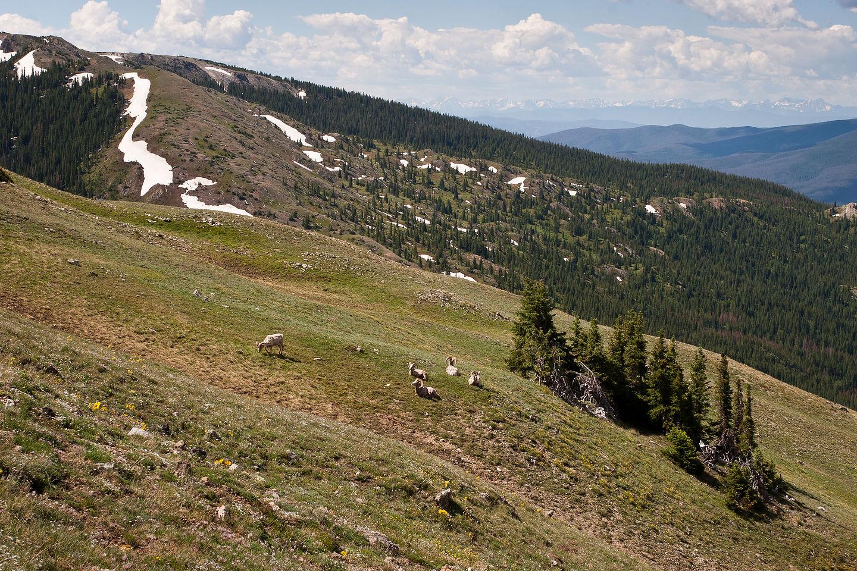 Big horn sheep grazing on meadow