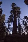 General Grant tree at dusk - TJG