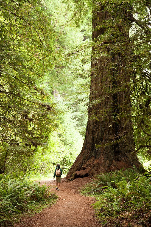 Hiking Big Tree Loop in Prairie Creek Redwoods State Park