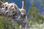Bighorn on Mount Washburn