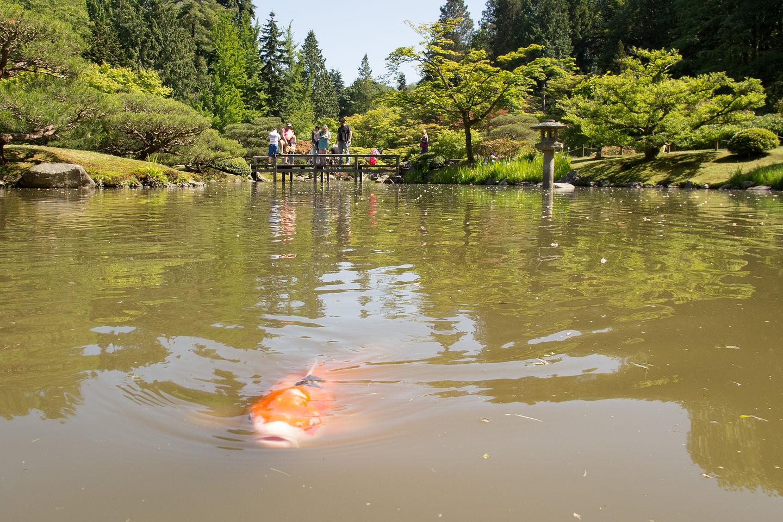 Seattle Japanese Garden Koi