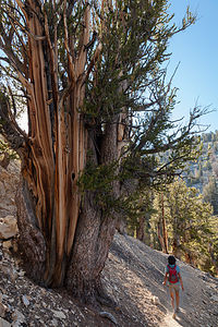 Lolo Hiking in Bristlecone Pine Forest