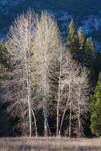 Yosemite Birch Trees