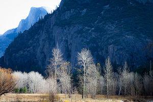 November Birches with Half Dome