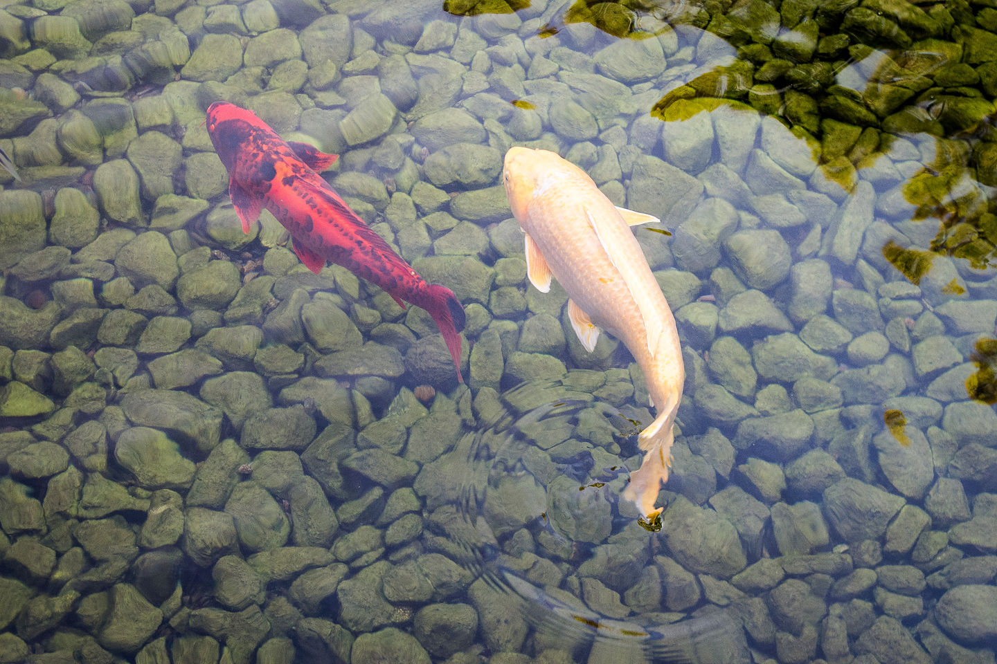 Koi in Japanese Friendship Garden | Lolo's Extreme Cross