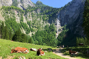 Friendly German cows lounging near the Rothbachfall