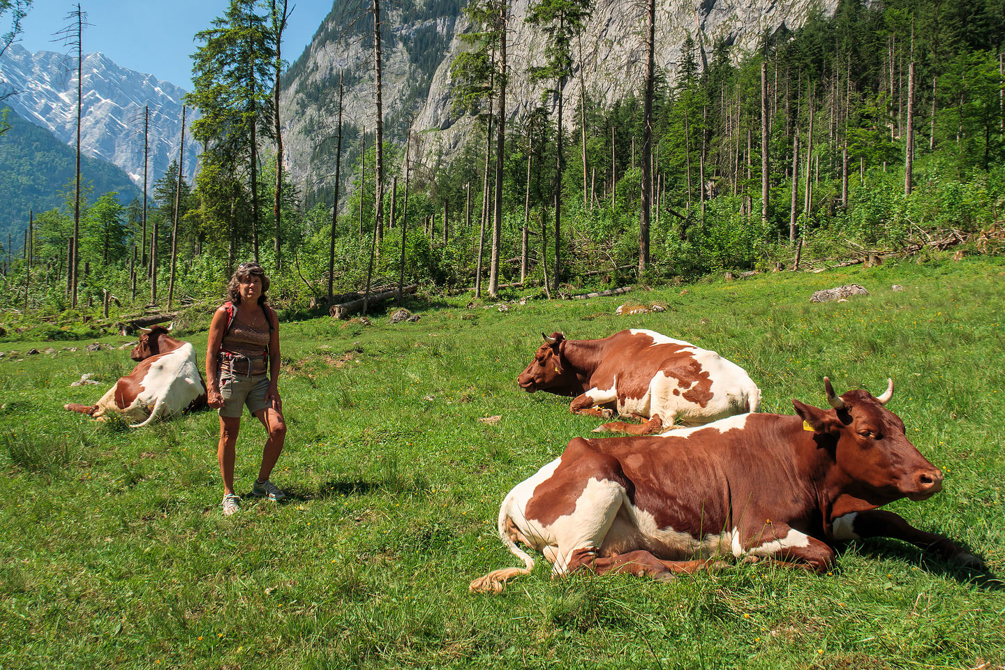 The cows of the Konigsee