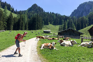 Herb playing with the cows on Konigsbach Alm