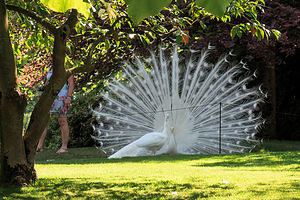 Isola Madre White Peacocks