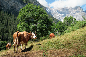 Gimmelwald cows
