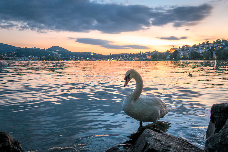 """Lake Lucerne sunset """"mit schwan"""""""