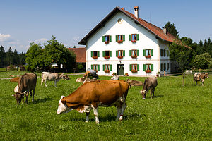 Cows grazing near the Wieskirche