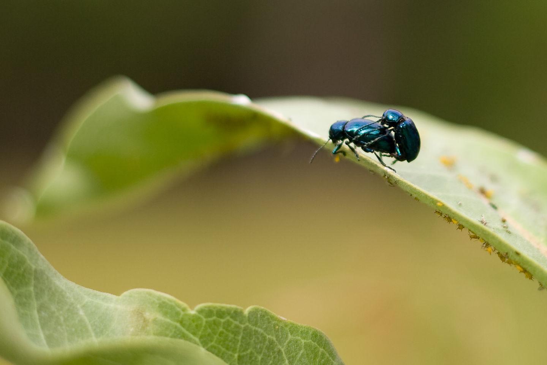 Procreating blue bugs