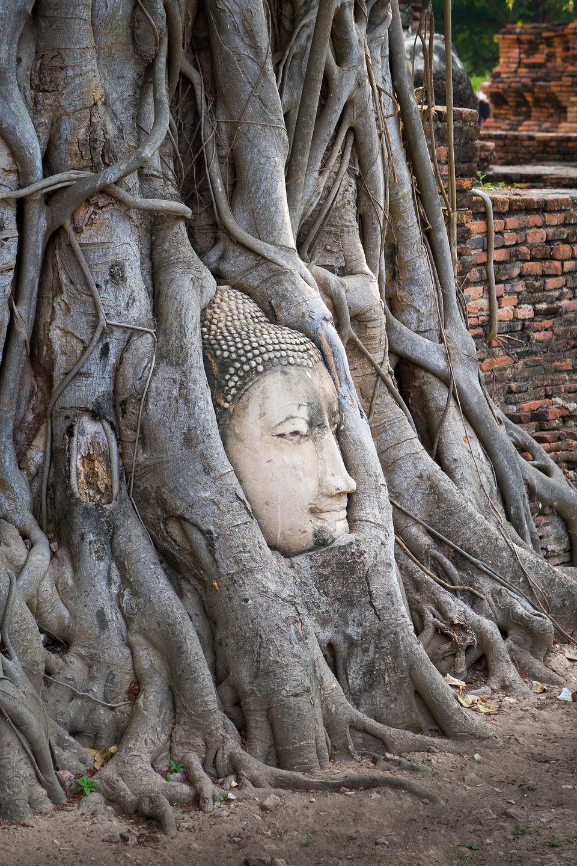 Famous Buddha head in tree