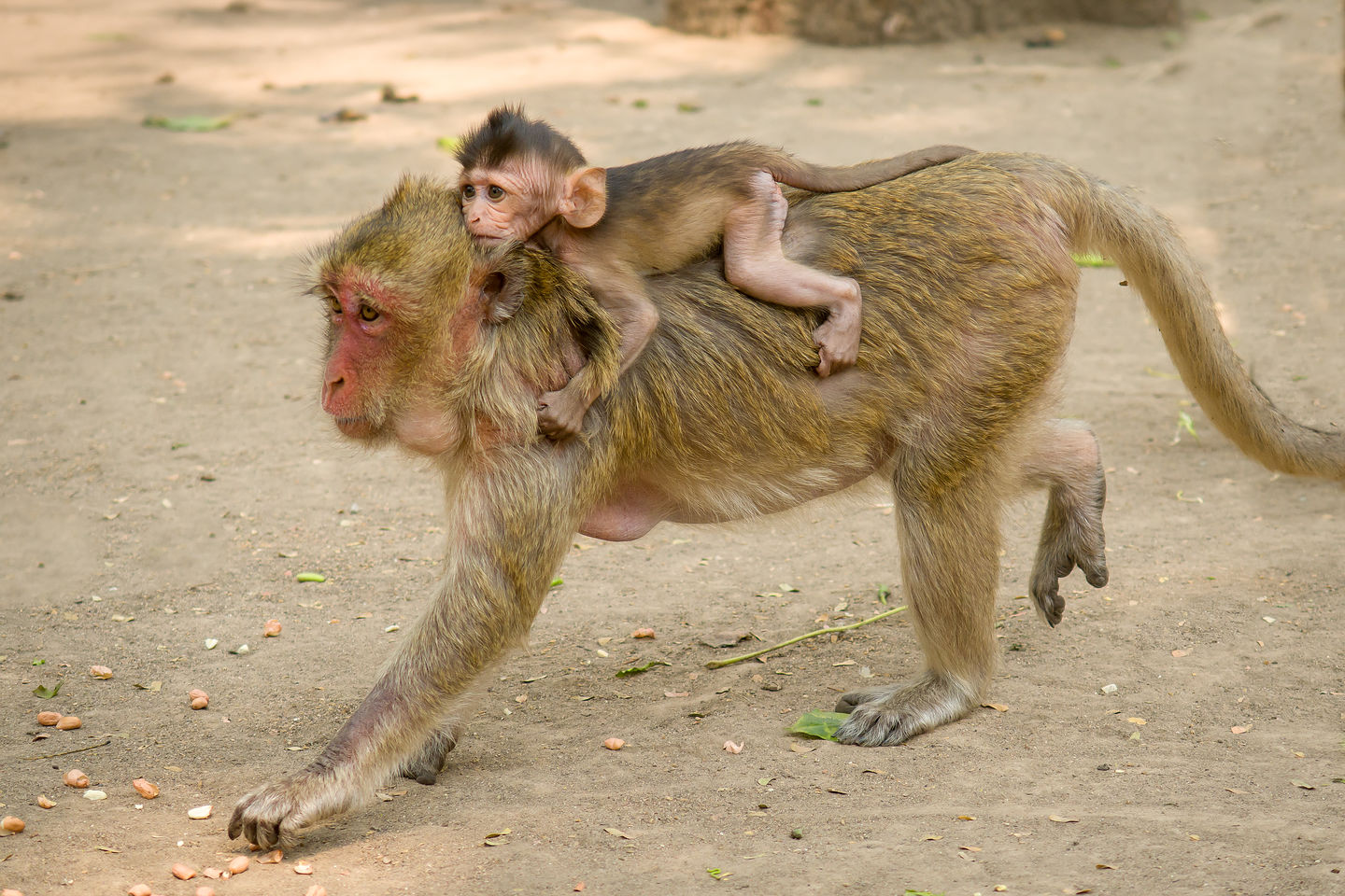 Mama macaque monkey and her young