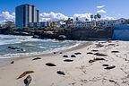 The sea lions of La Jolla