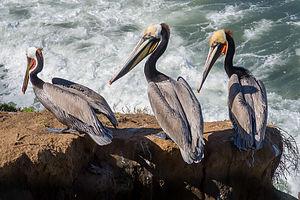 California brown pelicans