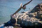 Soaring California brown pelican