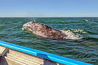 Close encounter with a gray whale