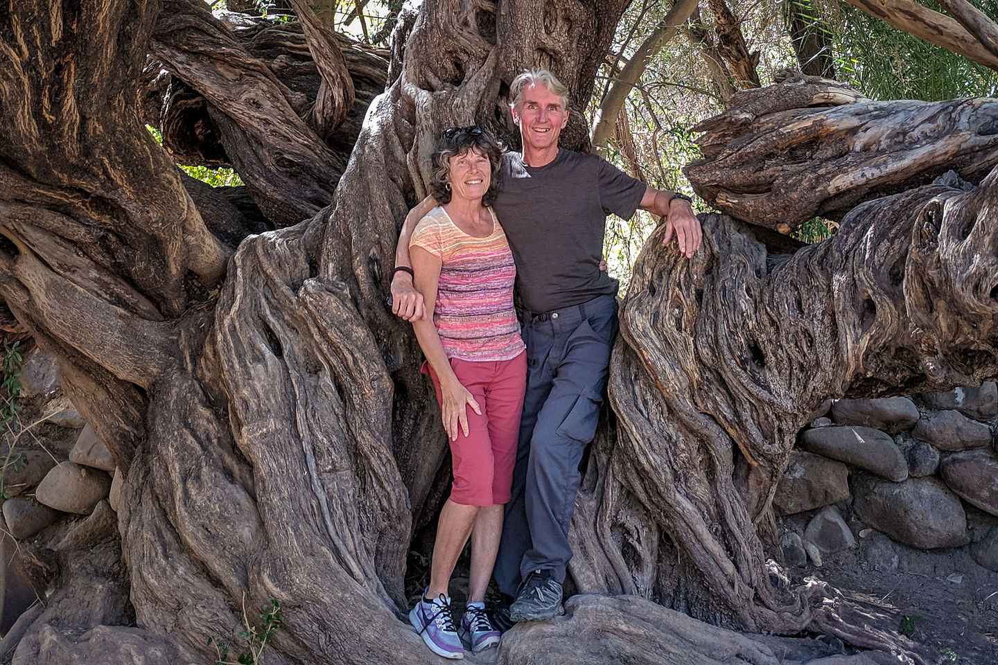 Old 300 year old olive tree - Mision San Francisco Javier