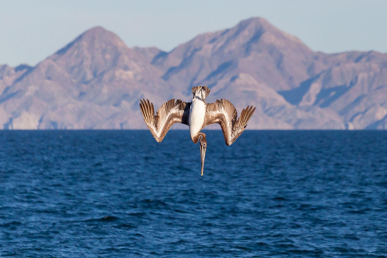 California brown pelican making his dive