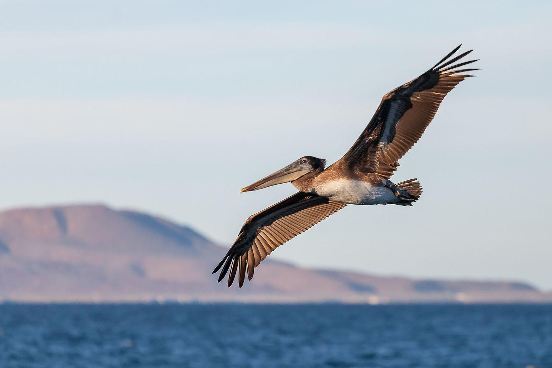 California brown pelican contemplating his dinner