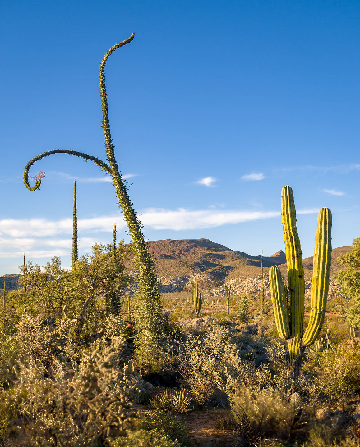 Cacti outside of Catavina
