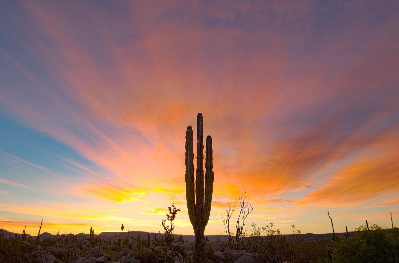 Predawn cactus
